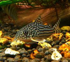 Сюда выкладывайте фотографии аквариумных рыб.  Загрузите фотографию!